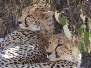 Two cheetahs contemplating a nap